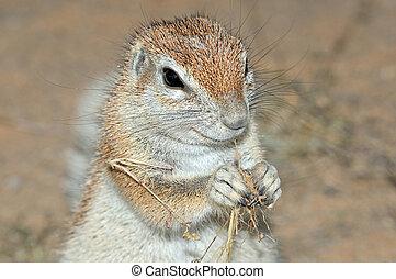 Cape Ground Squirrel (Xerus Inauris). Photo taken at Mata...