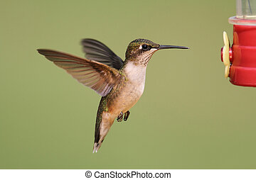 Ruby-throated Hummingbird (archilochus colubris) - Juvenile...