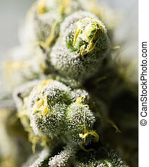 Marijuana flower buds - Marijuana flowering buds cannabis,...