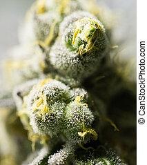marijuana, flor, brotes