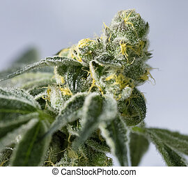 Marijuana flower buds. - Marijuana flowering buds (...