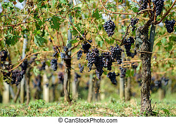 Vineyard in Tuscany - Sangiovese grapes in Montalcino, Italy