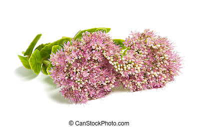 Sedum - Pink Sedum flowers isolated on white background