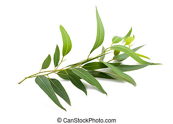 eucalyptus branch isolated on white background
