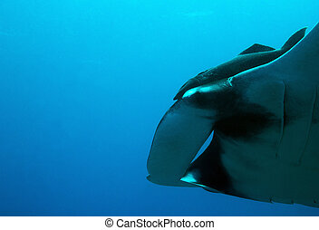 Manta Ray - Close-up of a Pacific Manta Ray Manta Birostris...