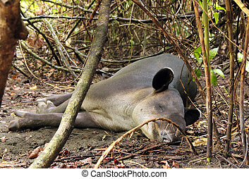 Tapir - Baird's Tapir (Tapirus Bairdii) Sleeping in the...