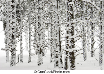 Snow Battered Pine Tree Trunks - Pine trees in the forest...