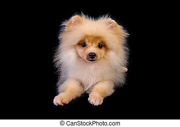 Pomeranian puppies isolated on black background