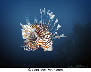 lionfish - Red lionfish (Pterois volitans), Soma Bay, Egypt