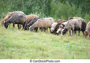 Sheep grazing on grass land
