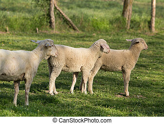 Trimmed sheep with lamb - Sheep and lamb standing on grass...