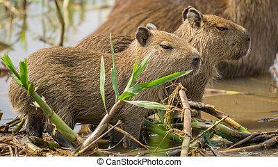 Baby Capybara in Brazilian Pantanal (Side view)....