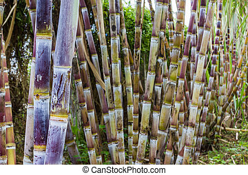 Sugar cane plants nature background - Close up sugar cane...