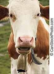 vaca, Campana