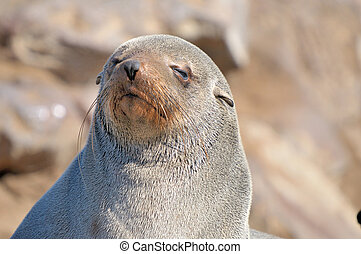 Cape Fur Seal at Cape Cross in Namibia