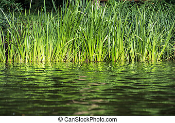Green reeds on the lake shore. Natural theme.