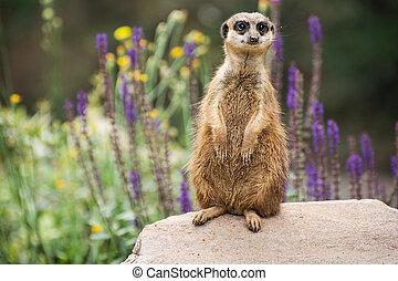 Meerkat is looking around - Meerkat or Suricate is looking...