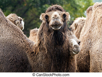 Bactrian camel - A shot of a group of bactrian camels