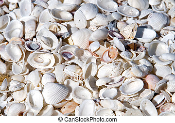 Seashell Background - Seashells in mass on the beach on an...