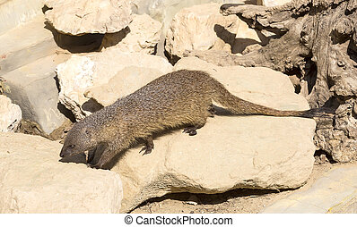 mongoose in the wild national, nature nobody