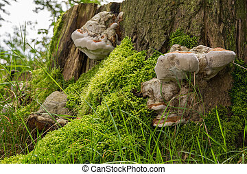 Mushrooms on side of tree stump - Large mushrooms on side of...