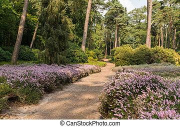 Path through heather in forest - sand path through heathland...