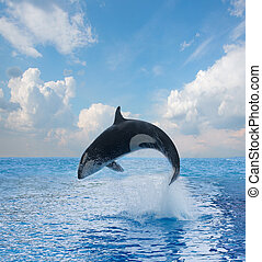 jumping killer whale, seascape with ocean waters and...