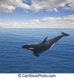 jumping killer whale, seascape with deep ocean waters and...