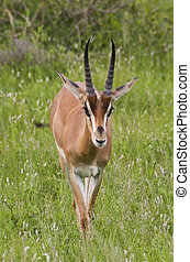 grants gazelle in kenya - a grants gazelle in samburu...