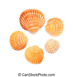 cockle shells - small cockle shells isolated on white...