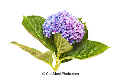lilac-blue hydrangea isolated on white background