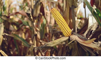 Farmer picking Ripe maize corn - Farmer picking Ripe maize...