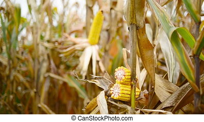 Ripe maize on the cob in cultivated agricultural corn field...