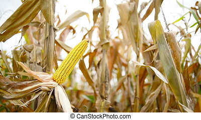 Ripe maize on the cob