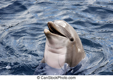 Dolphin - Head of dolphin with an open mouth in the blue...