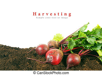 Harvesting A fresh beet on earth - Harvesting A fresh beet...