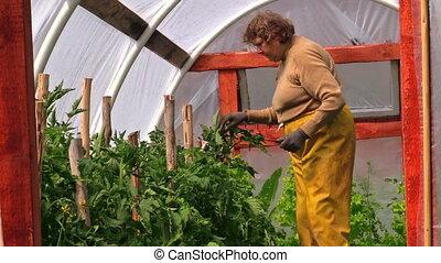 grandma in greenhouse - Grandma gardener woman tie tomato...