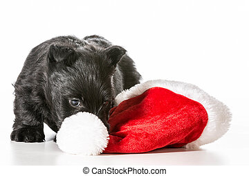 christmas puppy - scottish terrier puppy tugging on santa...