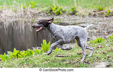 german shorthaired pointer running by the edge of a pond