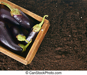 Harvesting. Eggplants in an old box on earth. - Harvesting....