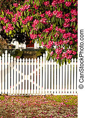White picket fence with fallen blossom