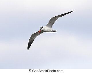Caspian Tern (Hydroprogne caspia) - Caspian Tern in flight