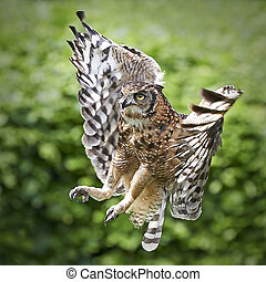 Spotted Eagle Owl Bubo africanus - Spotted Eagle Owl in...