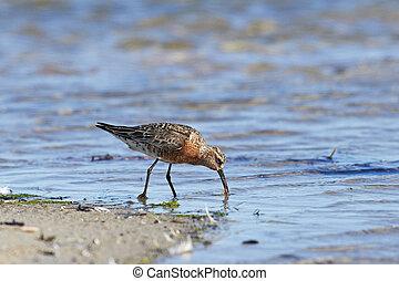Curlew Sandpiper Calidris ferruginea - Curlew Sandpiper in...