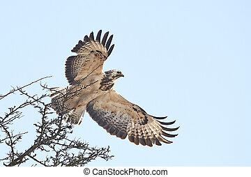 Common buzzard (Buteo buteo) - Common buzzard taking of in...