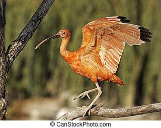 Scarlet Ibis Eudocimus ruber - Scarlet Ibis resting on a...