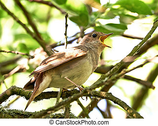 Thrush Nightingale Luscinia luscinia - Thrush Nightingale...