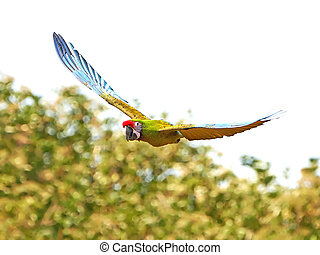 Military Macaw (Ara militaris) - Military Macaw in flight in...