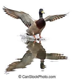 Wild Duck Anas platyrhynchos - Wild Duck landing in water...