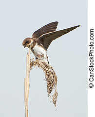 Sand martin (Riparia riparia) landing on a branch in its...